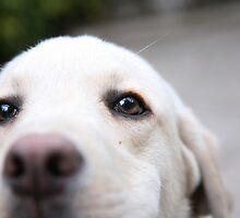 Labrador by zdepe