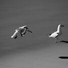Seagulls Black and White by Noel Elliot