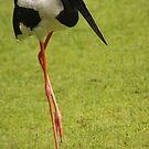 Jabiru Stork by Steve Bullock