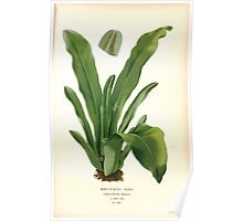 Favourite flowers of garden and greenhouse Edward Step 1896 1897 Volume 4 0303 Bird's Nest Fern Poster