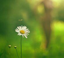 Chrysanthemum leucanthemum by PhilNeff