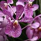 Orchids of Singapore by beeden