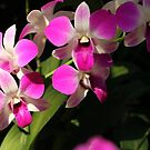 Singapore Orchids 16 by beeden