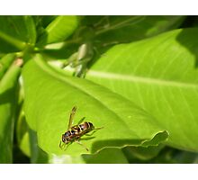 Fly insect Photographic Print