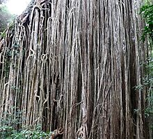 Extraordinary Curtain Fig Tree by Robyn Williams