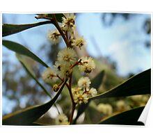 Wattle in flower Poster
