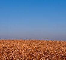 Barley field by intensivelight