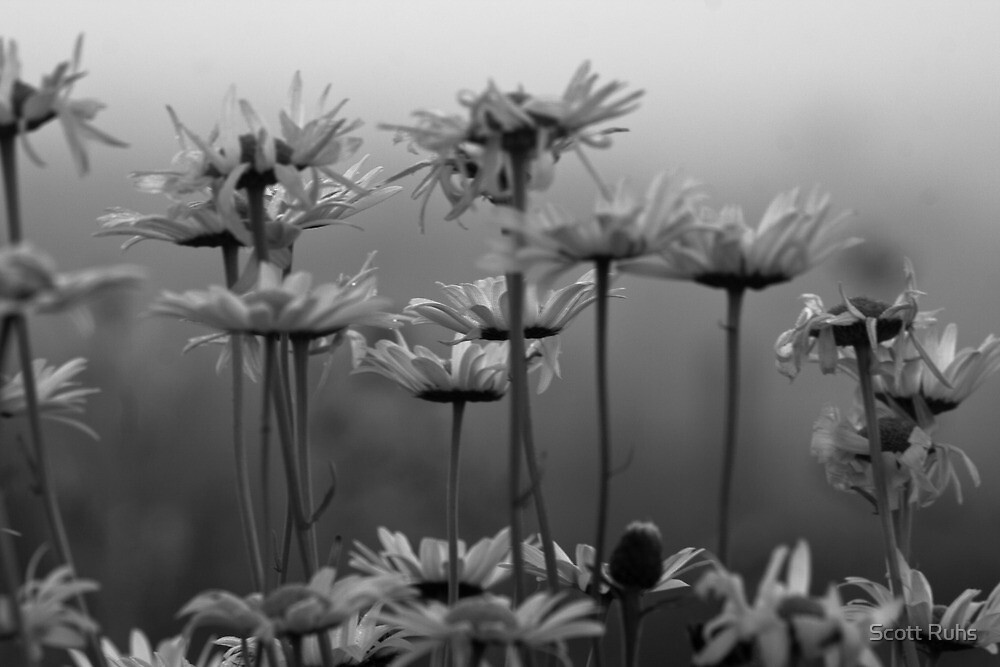 Daisies In The Fog (monochrome) by Scott Ruhs