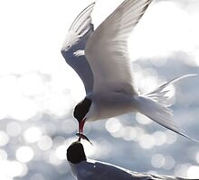 Arctic terns 2 by intensivelight