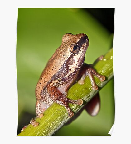 Desert Tree Frog (Litoria rubella), South East Queensland, Australia Poster