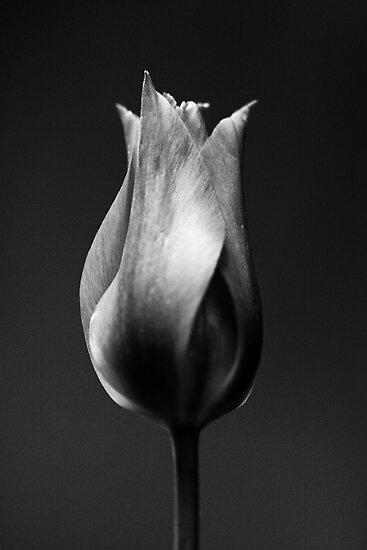 Portrait of a Tulip by Rhana Griffin