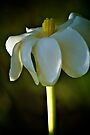 Ivory Gardenia by Renee Hubbard Fine Art Photography