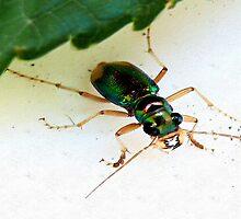 Carolina Tiger Beetle by Carla Jensen
