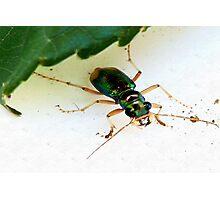 Carolina Tiger Beetle Photographic Print