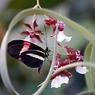 Heliconius Melpomanene (Postman) Butterfly by Stormygirl