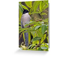 Azure Winged Magpie  Greeting Card