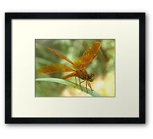 Dragonfly ~ Mexican Amberwing (Male) Framed Print