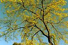 Golden Autumn Tree by NatureGreeting Cards ©ccwri