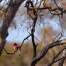 Red-capped Robin (Petroica goodenovii)  by Blue Gum Pictures
