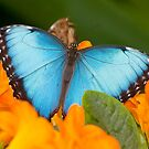 Peleides Blue Morpho Butterfly by Michael Cummings