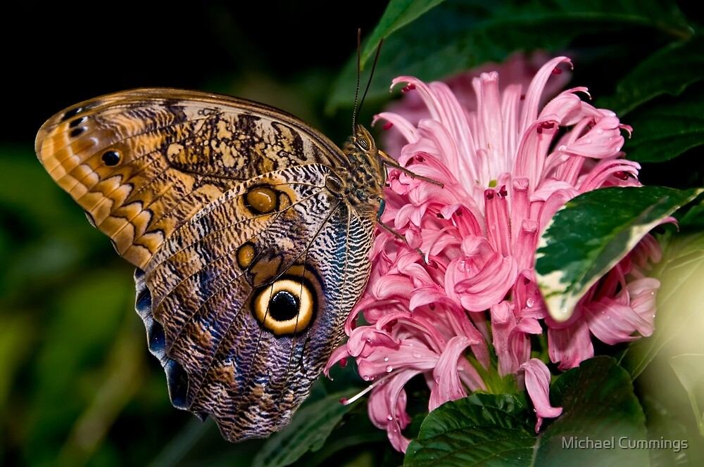 Owl Butterfly by Michael Cummings