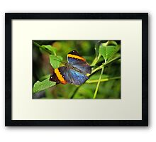Indian Leaf Wing Framed Print