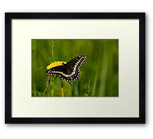 Eastern Black Swallowtail Framed Print