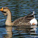 African Goose ~ Female by Kimberly Chadwick