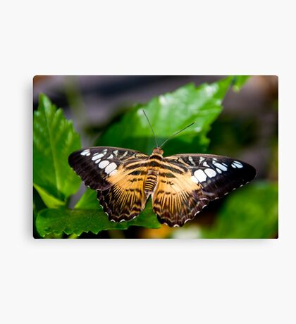 Clipper Butterfly Canvas Print