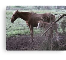 Cante & foal Canvas Print