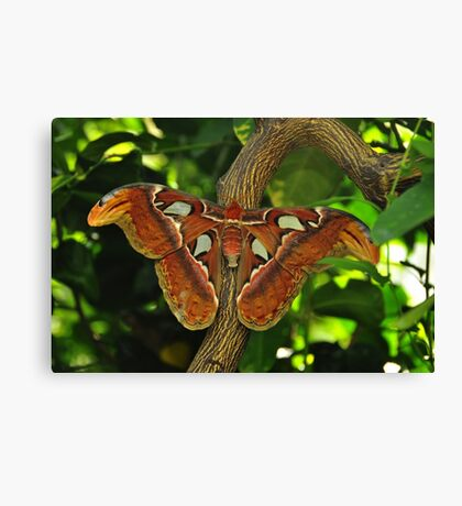Atlas Moth Canvas Print