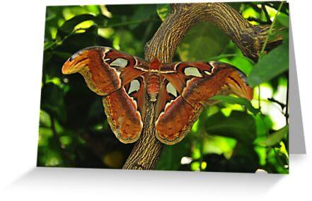 Atlas Moth by Michael Cummings