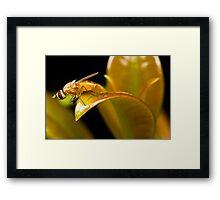 Lauxaniid Fly Framed Print