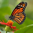 Monarch Butterfly - 8 by Michael Cummings