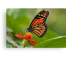 Monarch Butterfly - 8 Canvas Print