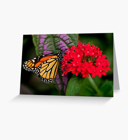 Monarch Butterfly - 10 Greeting Card