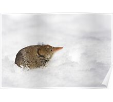 Shrew emerging from snow. Poster