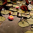 a day when lotus are blooming by anisja