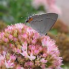 Gray Hairstreak by CarolD
