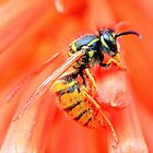 Foraging wasp - image 1 by missmoneypenny