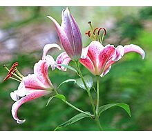 Beautiful Stargazer Lilies Photographic Print