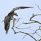 Mississippi Kite with Texas Katy Did by SuddenJim