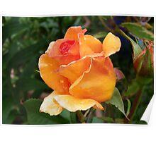Orange Rose Bud Poster