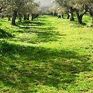 Italian Olive Grove-Trevignano Romano by Deborah Downes