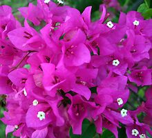 Bougainvilla Everywhere by Laurel Talabere