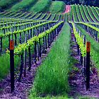 Vineyard King Valley Australia by jansant