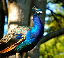 Proud Peacock... by Carol Clifford