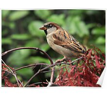 house sparrow a little brown job Poster