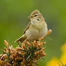Willow Warbler by Richard Bond