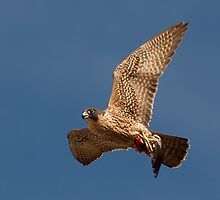 110410 Peregrine Falcon by Marvin Collins